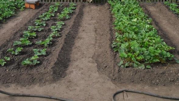 Выращивание клубники на грядках