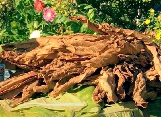 Сбор листьев курительного табака