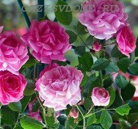 График подкормки роз в саду с весны до осени