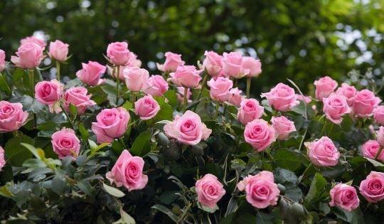 Цветение садовых роз