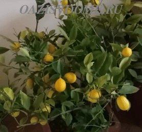 Выращивание лимонного дерева из косточки дома