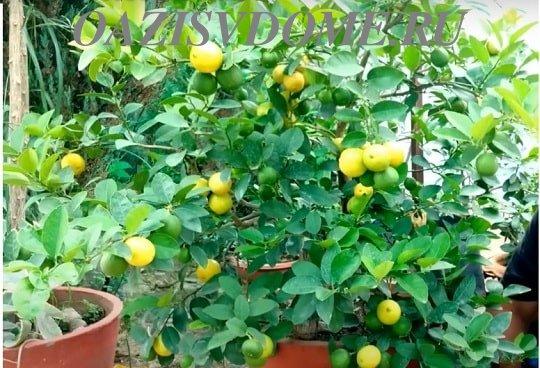 Выращенный из косточки дома лимон