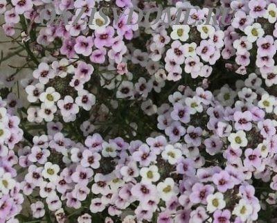 Выращивание из семян лобулярии (алиссума)