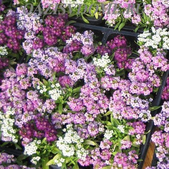Разноцветные цветы алиссума