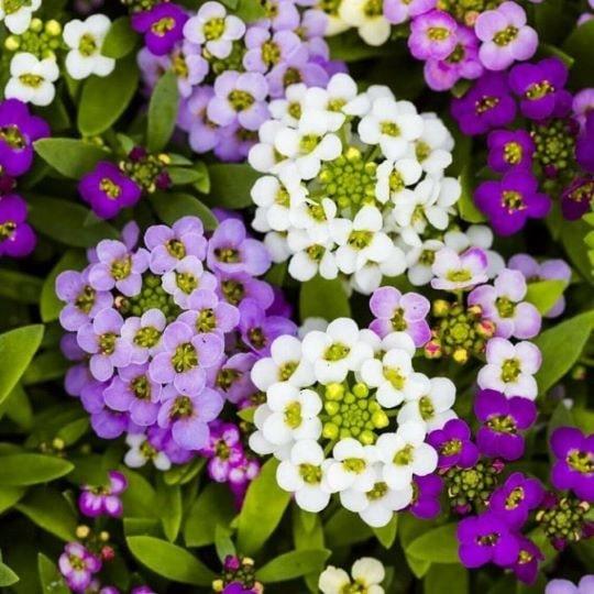 Цветы лобулярии (алиссума)