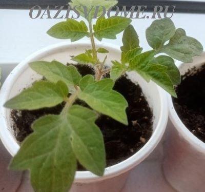 Подкормка помидоров Монофосфатом калия