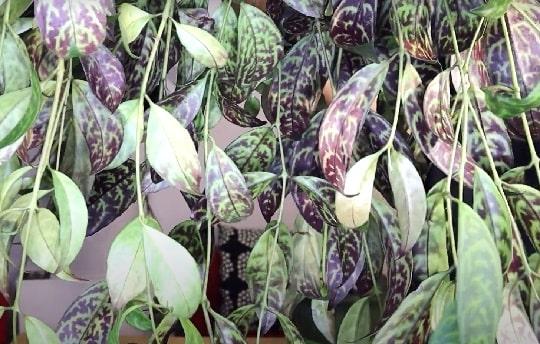 Эсхинантус сорта Мраморный