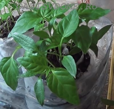 Посев перцев на рассаду в Улитку с землей и без земли на туалетную бумагу: пошаговая инструкция с фото и видео