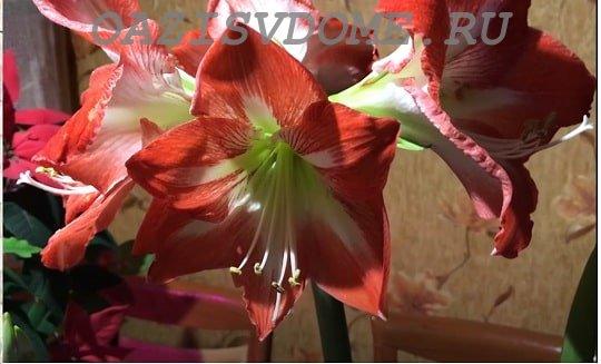 Цветущий гиппеаструм в горшке дома