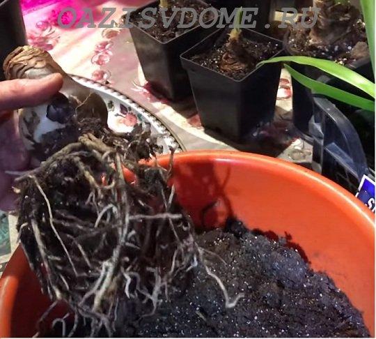 Выкопка луковицы после цветения гиппеаструма