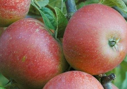 Уход за яблонями весной после зимы