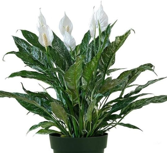 Цветок спатифиллум с пестрыми листьями