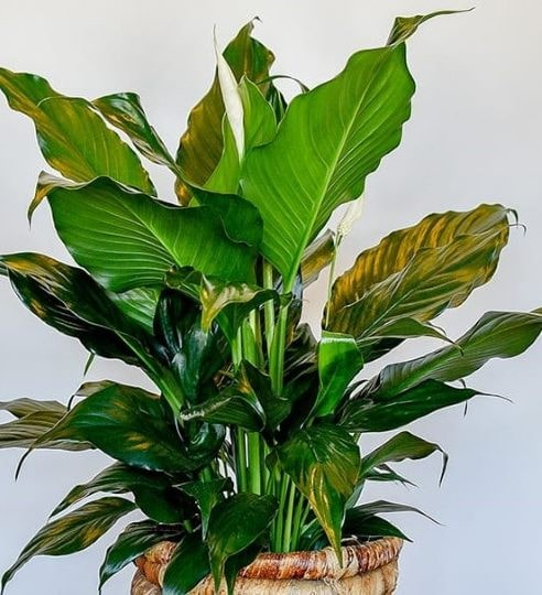 Цветок спатифиллум в горшке