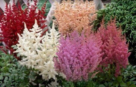 Цветок астильба: посадка, уход и выращивание в открытом грунте