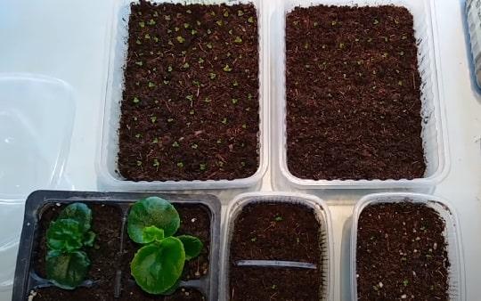 Бегония размножение семенами