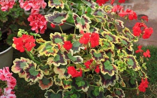 Герань с красивыми листьями
