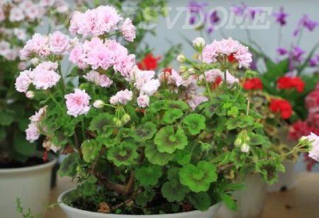 Подкормки для пышного цветения герани
