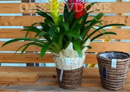 Виды и фото цветка гузмания