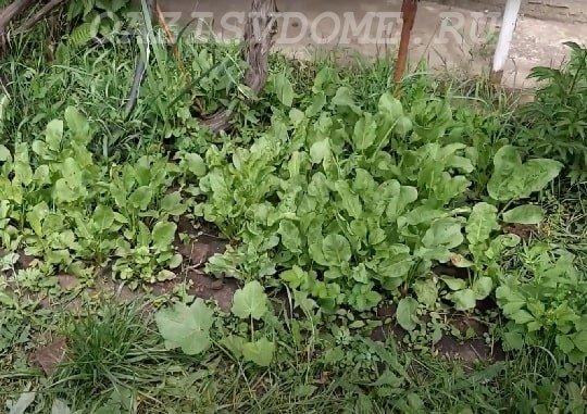 Щавель на салат