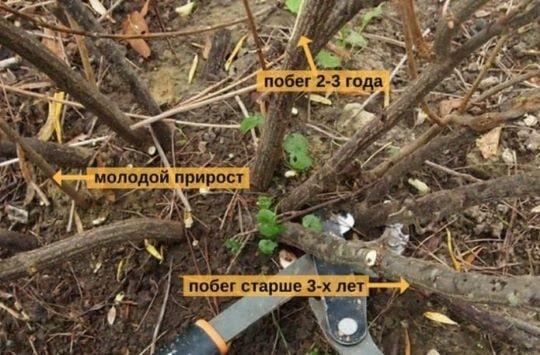 Ветки смородины разного порядка