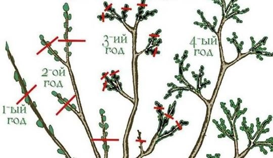 Ветви смородины разного возраста