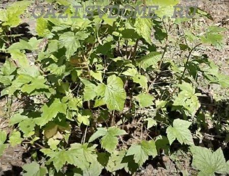 Обрезка кустов черной смородины весной для начинающих с видео и картинками