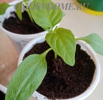 Посадка на рассаду перцев: как и когда сажать семена