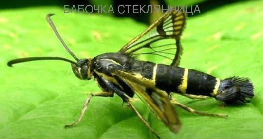 Бабочка вредитель стеклянница