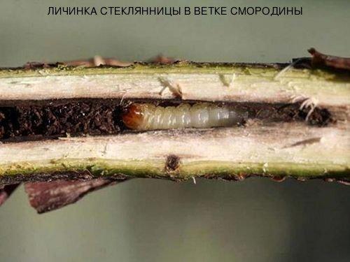 Личинка стеклянницы в ветке смородины