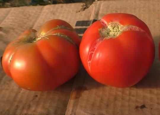 Лопаются помидоры