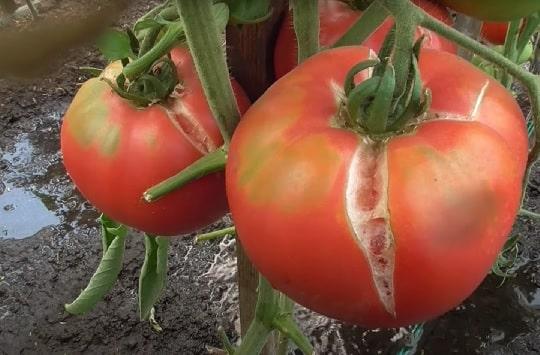 Лопнувшие томаты
