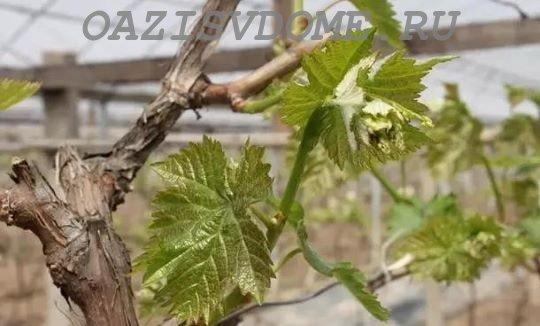 Листья винограда весной