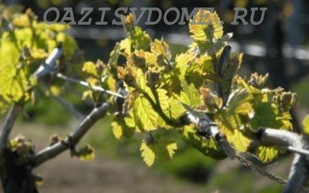 Первая весенняя подкормка винограда после зимы
