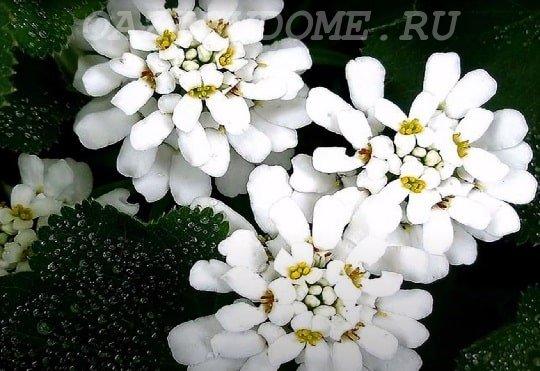 Иберис белый