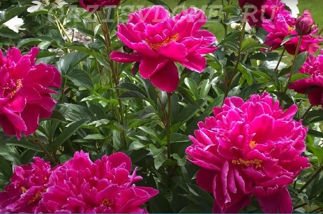 Красный пион цветет