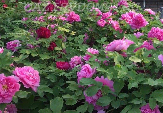 Пионы цветут на участке