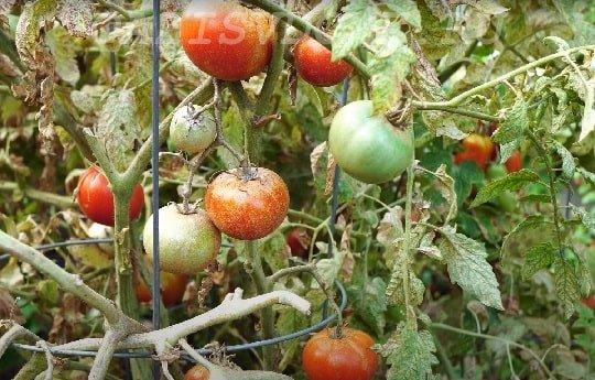 Паутинный клещ на помидорах