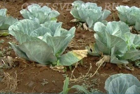 Почему желтеют листья капусты
