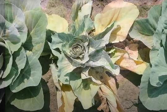 Недостаток влаги у капусты