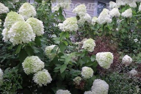 Подкормка садовой гортензии летом и осенью, удобрения для изменения цвета цветов