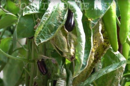 Почему желтеют листья баклажанов и перцев