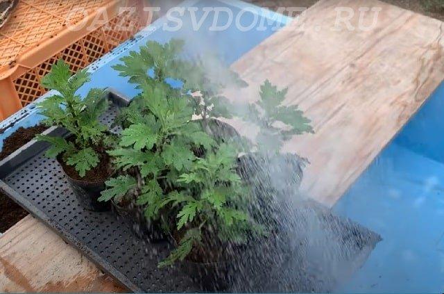 Уход за рассадой хризантемы
