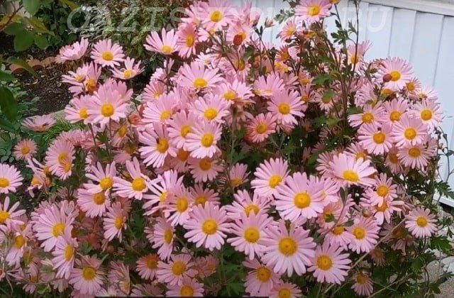 Хризантема цветет в саду