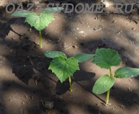 Что делать, если огурцы после всходов или высадки не растут: чем полить, чтобы быстрее росли