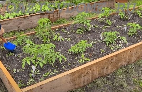 Подкормка помидоров в открытом грунте