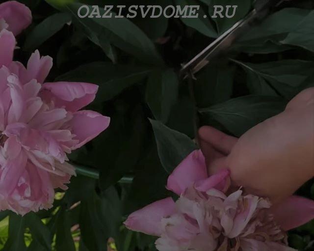 Правильная обрезка цветоносов пионов после цветения