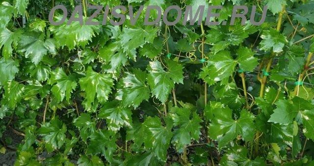 Виноград после обработки по листьям