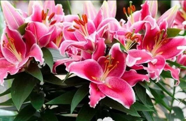 Обильное цветение лилий