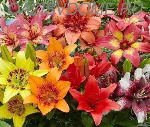 Разноцветье садовых лилий
