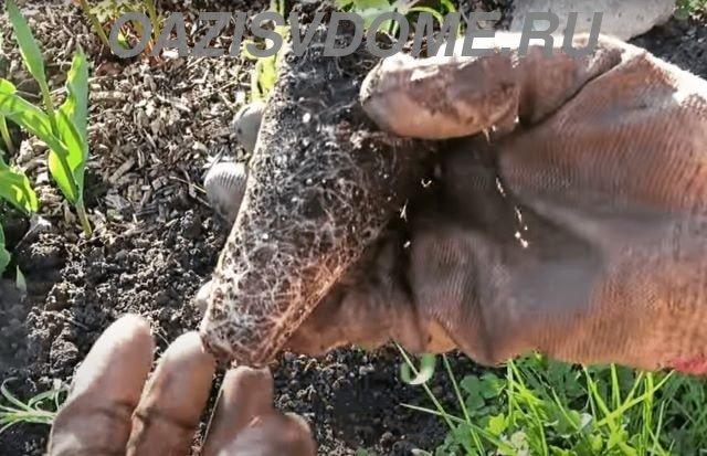 Высадка рассады гвоздики Шабо в открытый грунт